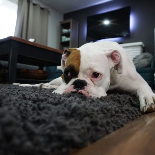 Carpet Cleaning Gold Coast - white and brown bull dog on carpet